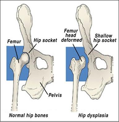 Canine Hip Dysplasia - Rysan Welsh Springers