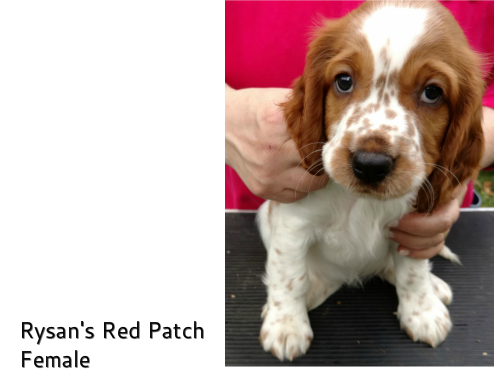 Rysan Welsh Springers - Welcome to Rysan Welsh Springer Spaniels